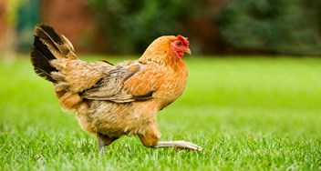 Avinet. Poultry Protection.jpg